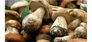 Funghi-Porcini-Raccolti